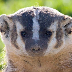 Wisconsin State Badger