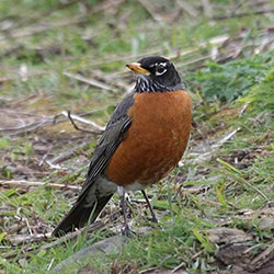 Wisconsin State Robin