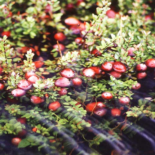 Wisconsin State Fruit Cranberry